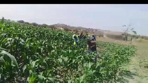 Taarifa ya TANESCO kuhusu mafundi wake kufyeka mahindi